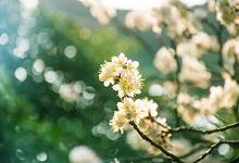驿路梨花中描写梨花的句子 驿路梨花课文中有哪些描写梨花的句子